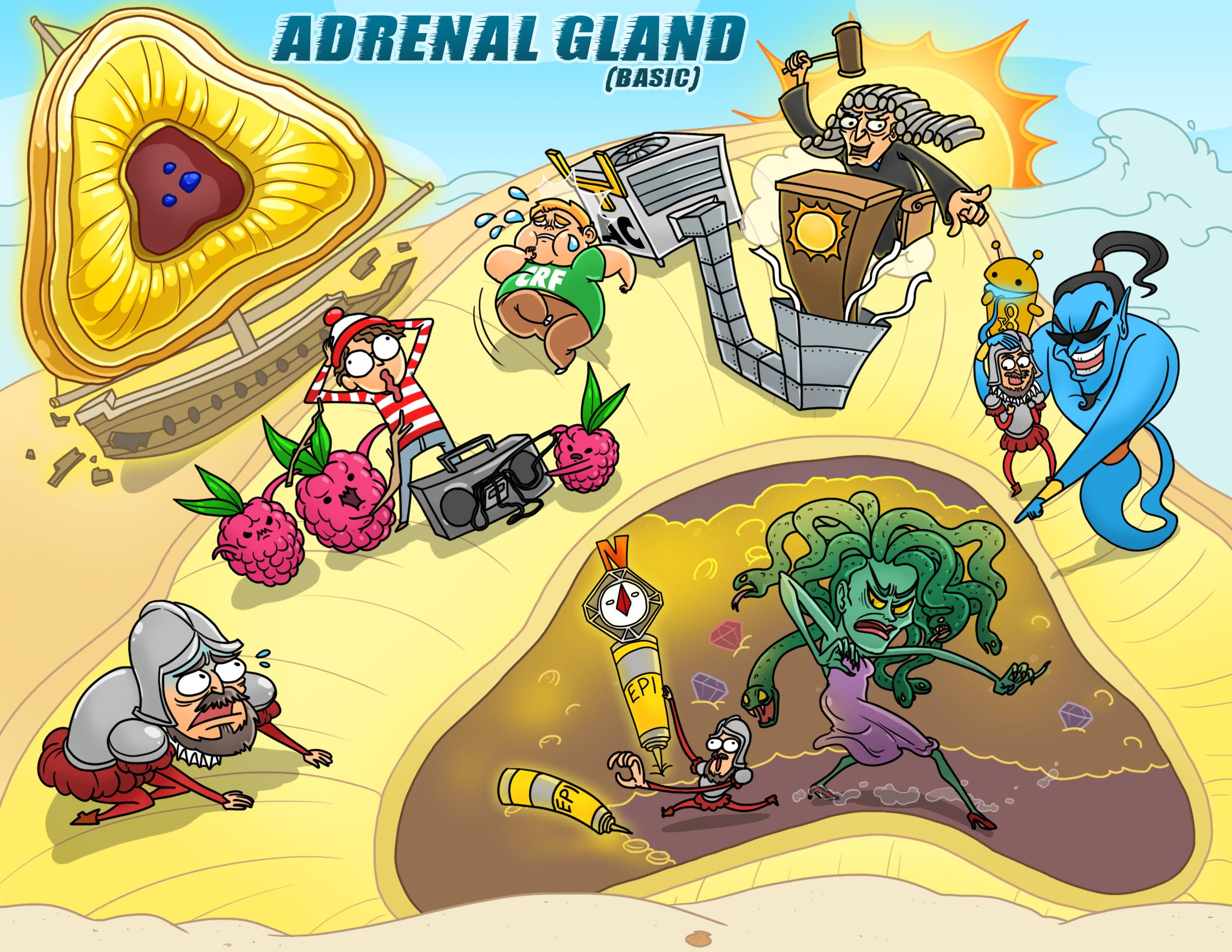 Adrenal Gland (Basic)