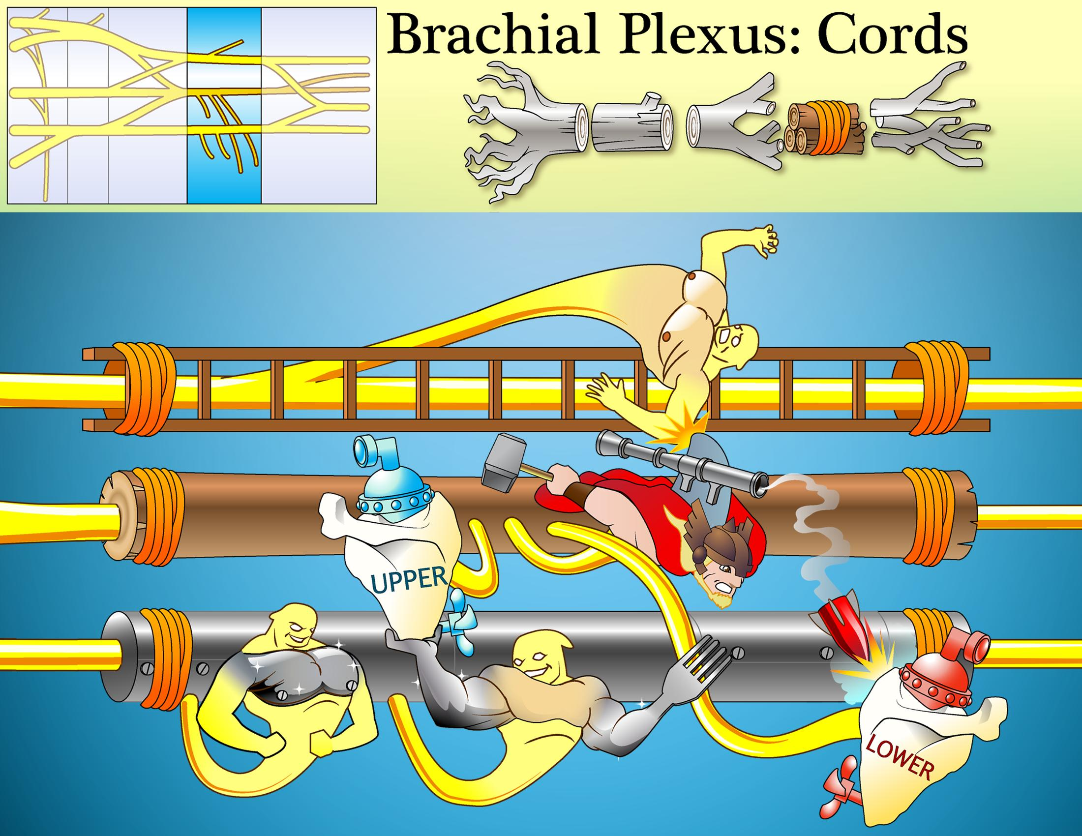Brachial Plexus Cords