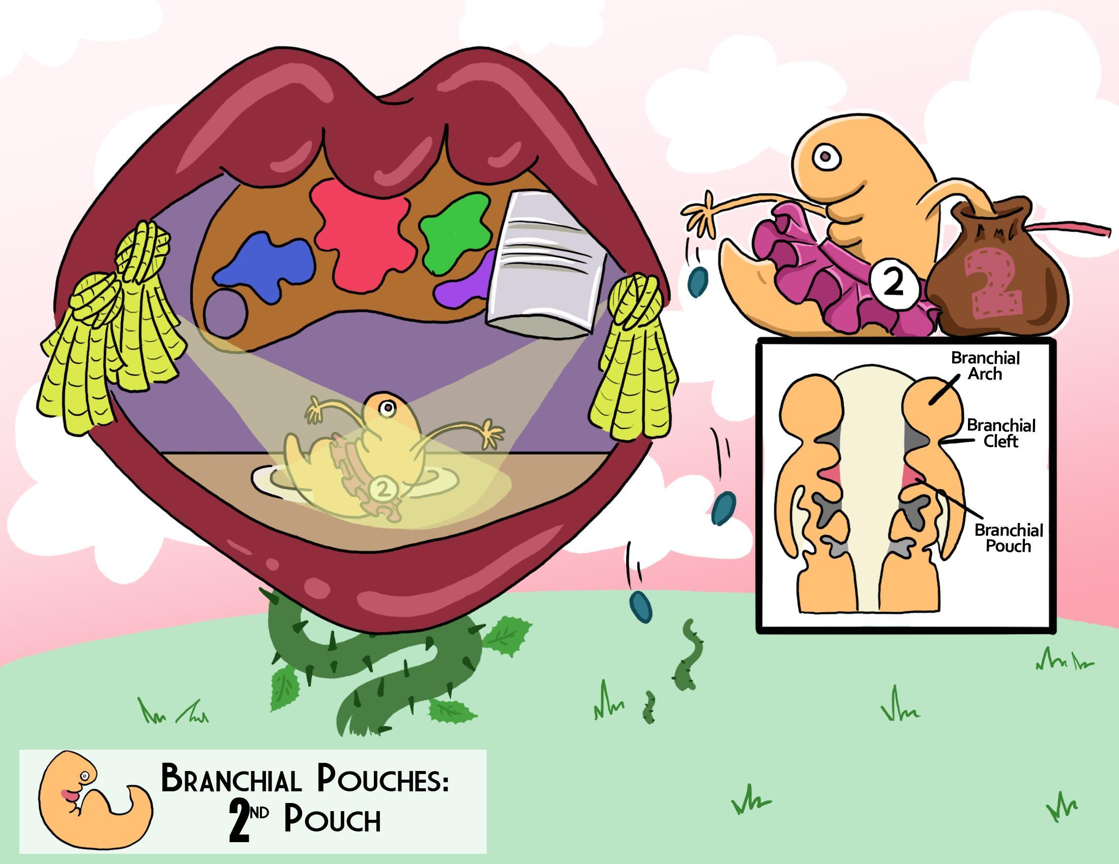 Branchial Pouches: 2nd Pouch