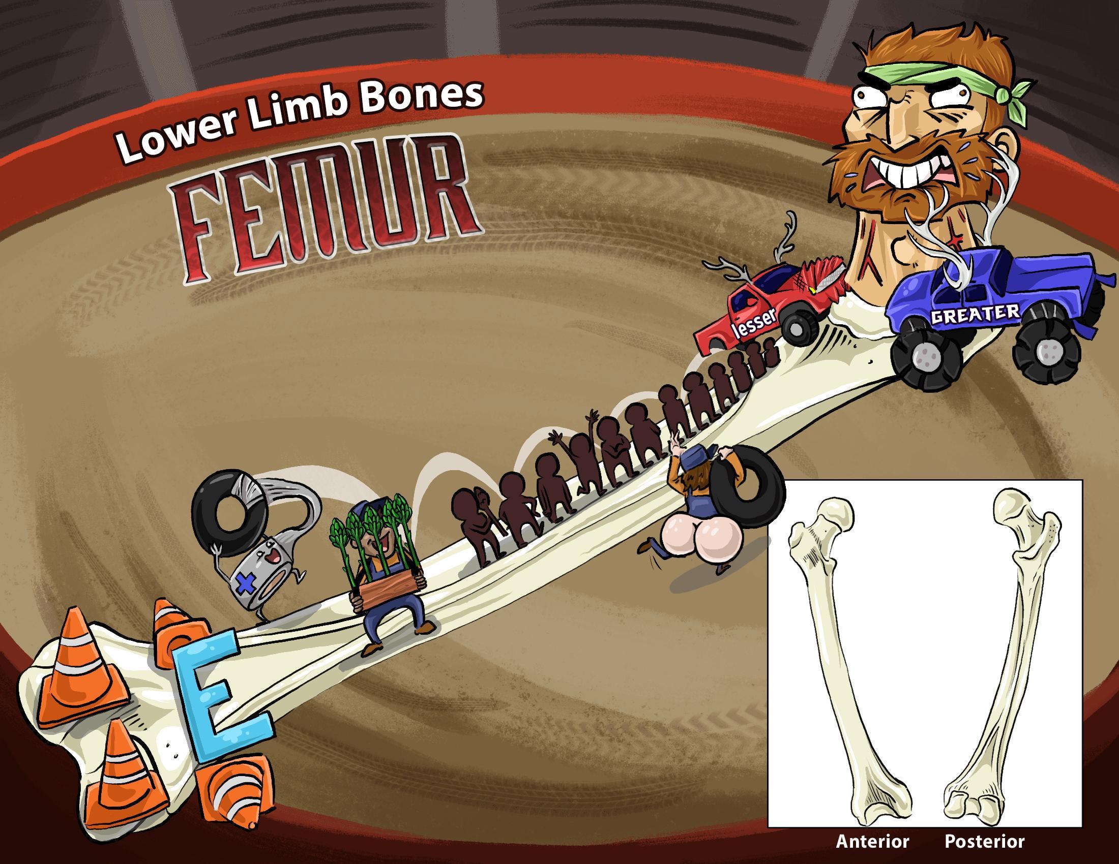 Lower Limb Bones - Femur