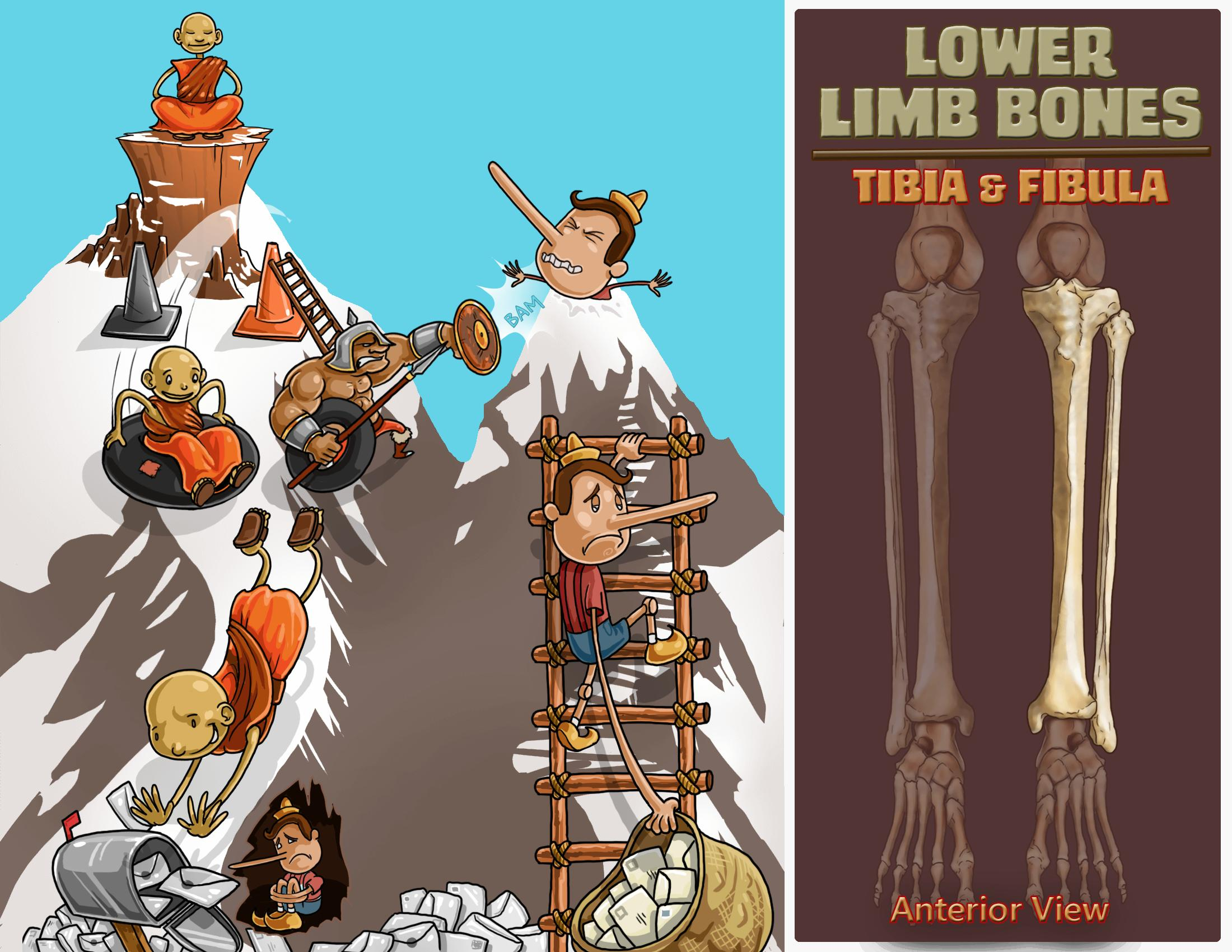 Lower Limb Bones - Tibia and Fibula