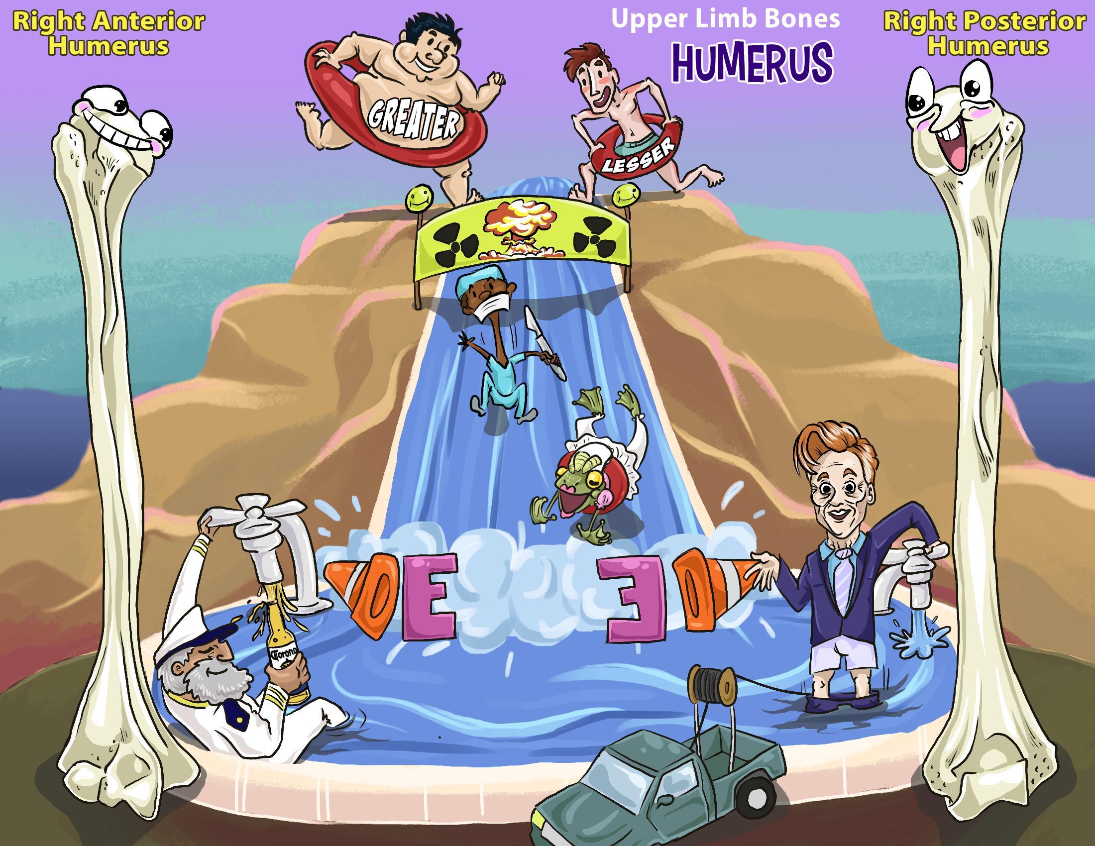 Upper Limb Bones - Humerus