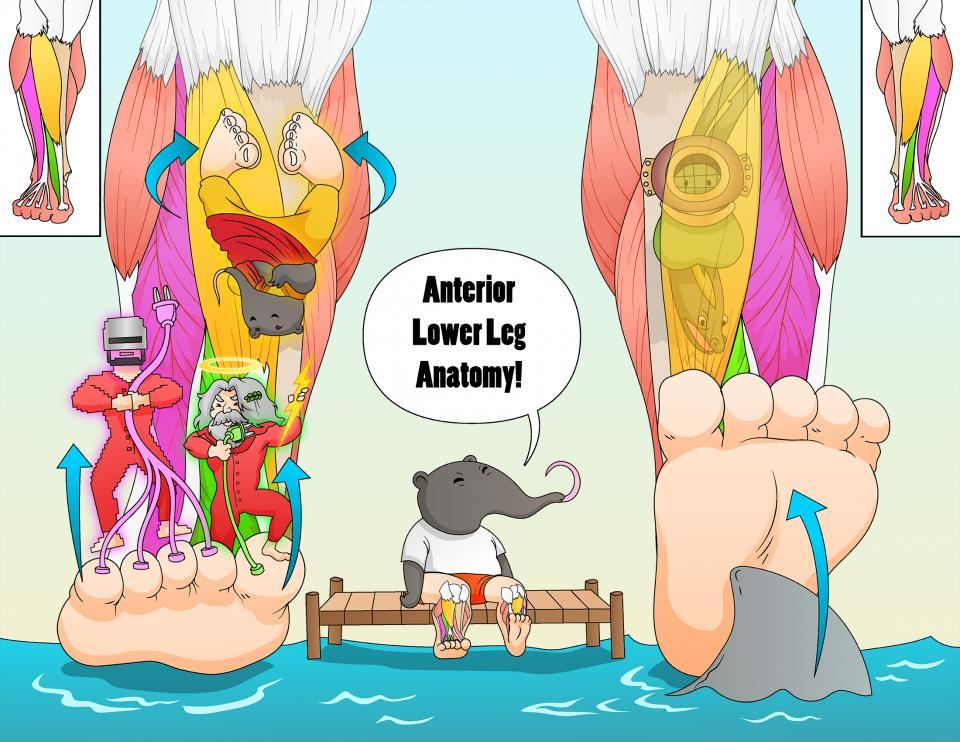 Anterior Lower Leg Anatomy