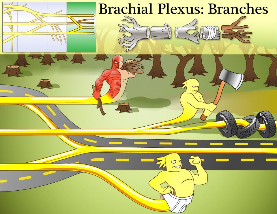 Brachial Plexus Branches