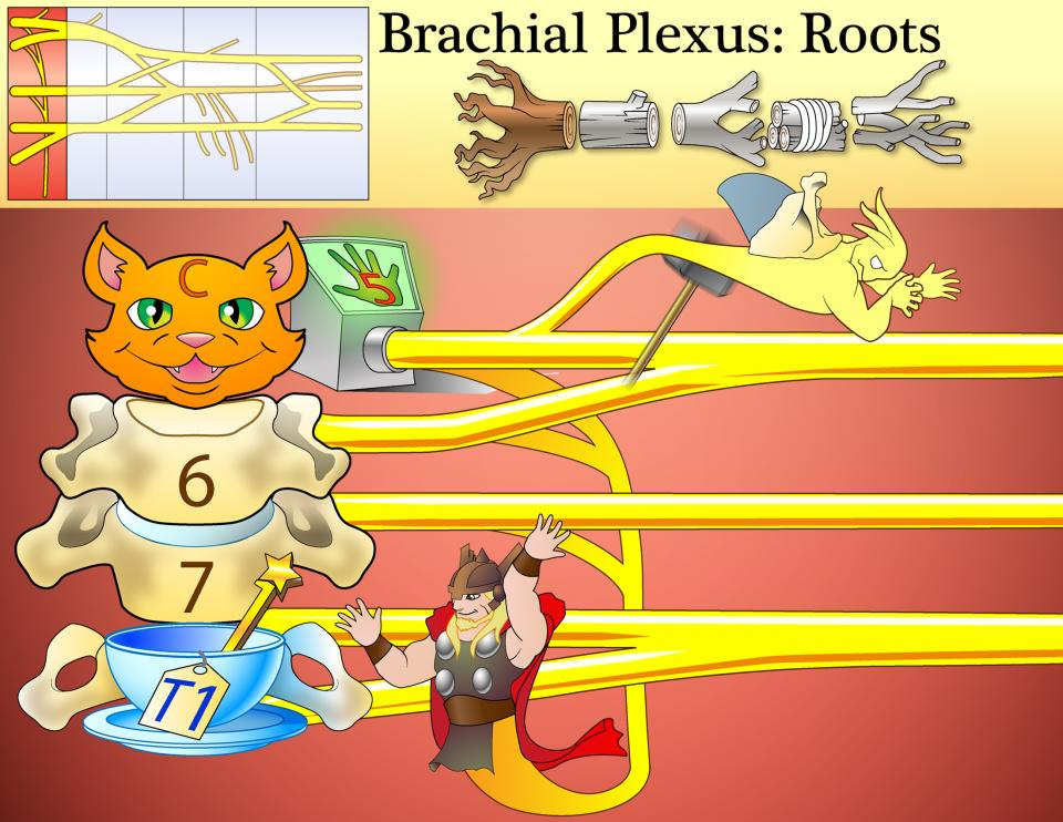 Brachial Plexus Roots