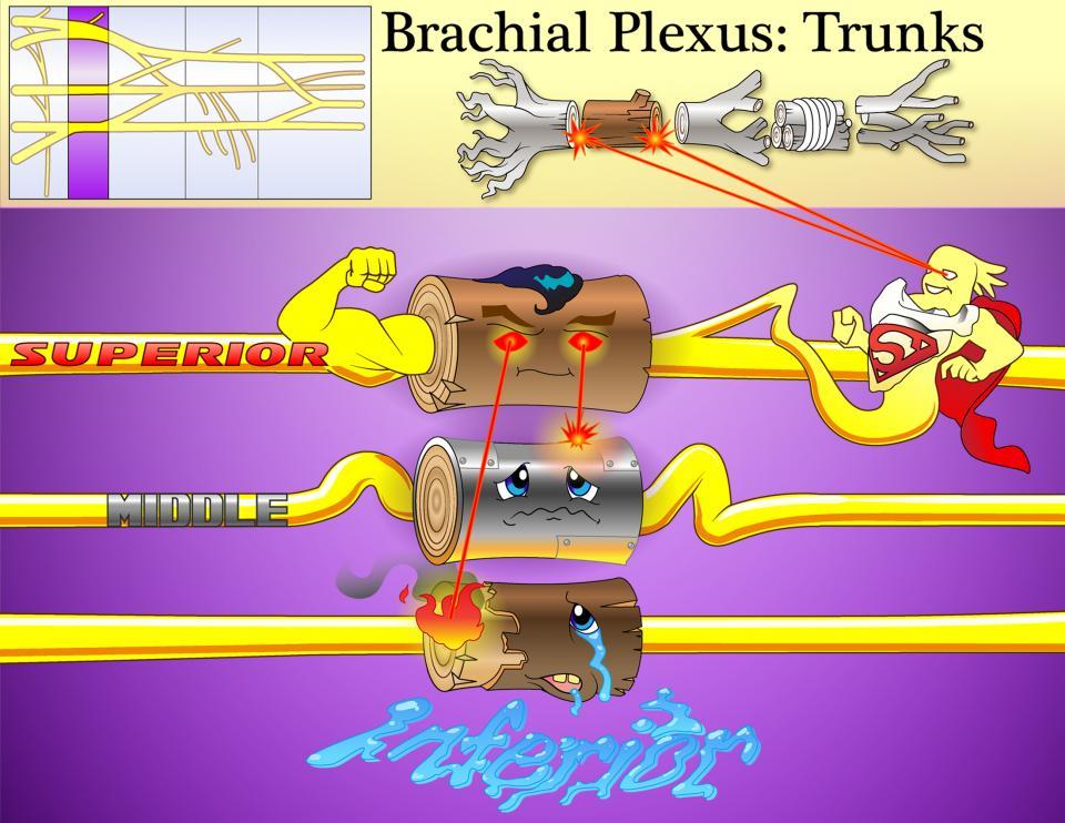 Brachial Plexus Trunks