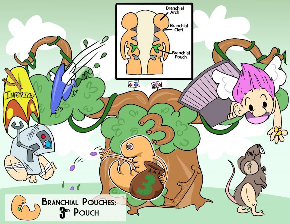 Branchial Pouches: 3rd Pouch