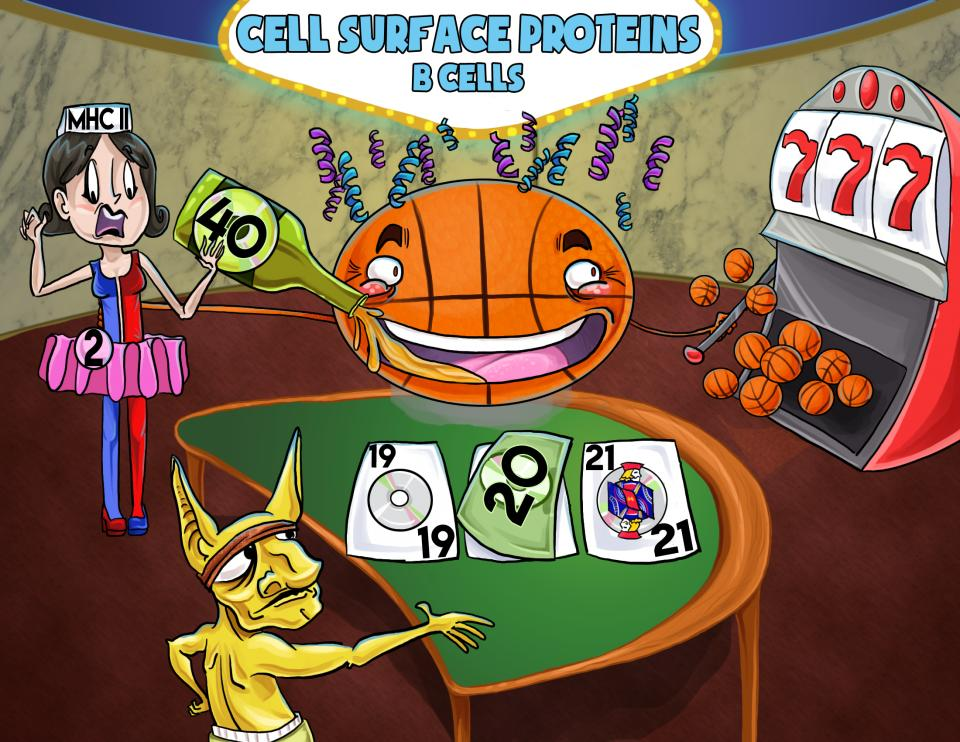 Cell Surface Proteins - B Cells