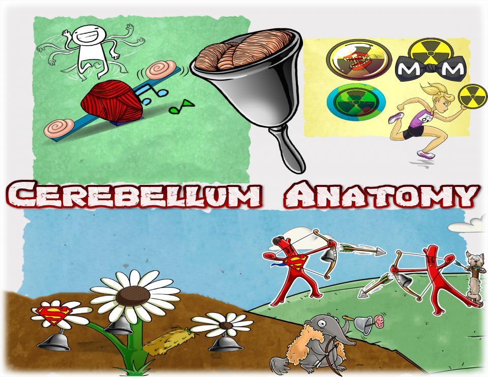 Cerebellum Anatomy
