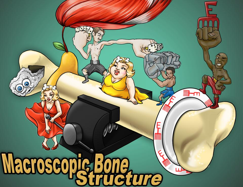 Macroscopic Bone Structure