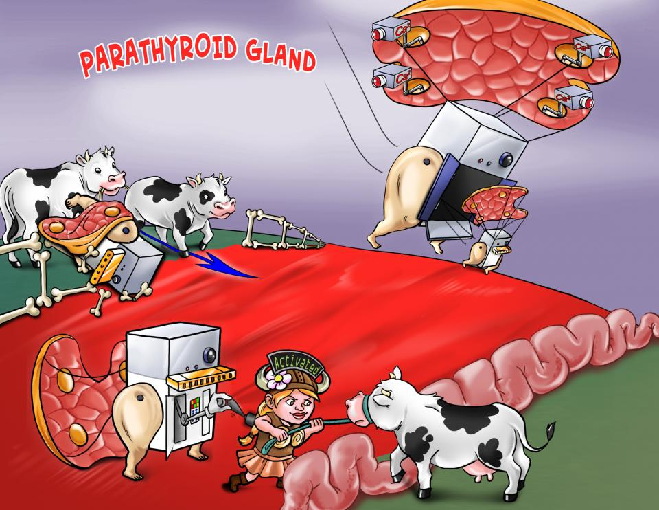 Parathyroid Gland
