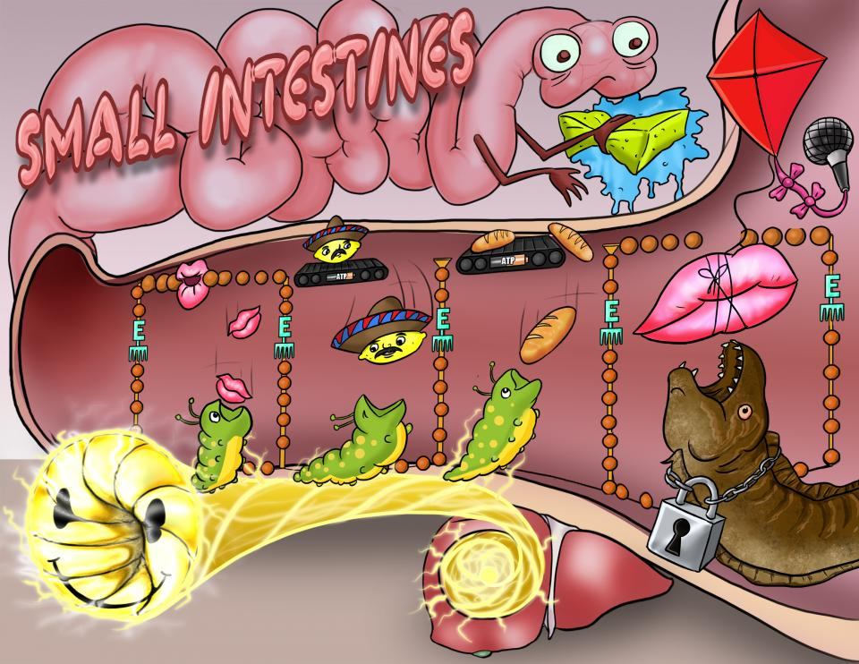Small Intestine Absorption