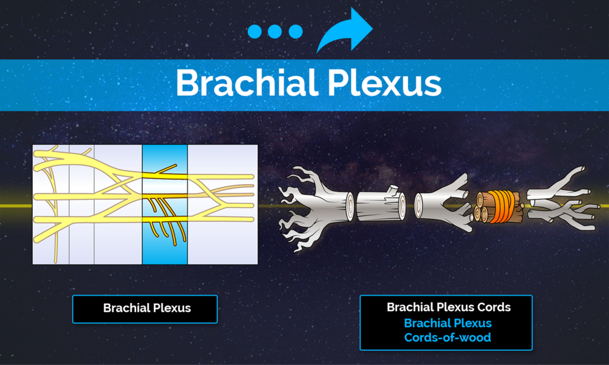 The brachial plexus is a beast when it comes to memorizing all the important facts, delineations, segmentation, etc.
